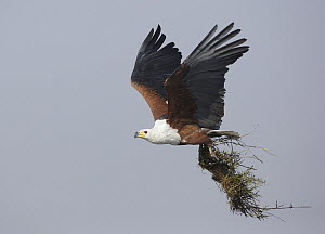 African Fish Eagle (Haliaeetus vocifer) carrying nesting material, Chobe National Park, Botswana  -  Nate Chappell/ BIA
