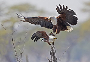 African Fish Eagle (Haliaeetus vocifer) pushing off another individual in territorial display, Chobe National Park, Botswana - Gerald Haas/ BIA