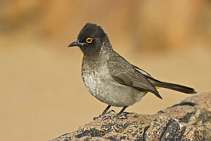 African Red-eyed Bulbul (Pycnonotus nigricans), Etosha National Park, Namibia - Gerald Haas/ BIA