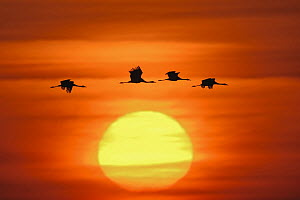 Common Crane (Grus grus) group flying at sunset, Mecklenburg-Vorpommern, Germany - Ralf Kistowski/ BIA