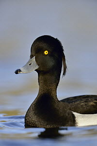 Tufted Duck (Aythya fuligula) male, North Rhine-Westphalia, Germany - Ralf Kistowski/ BIA