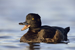 Tufted Duck (Aythya fuligula) female calling, North Rhine-Westphalia, Germany - Ralf Kistowski/ BIA