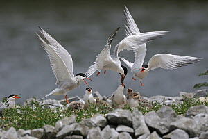Common Tern (Sterna hirundo) parent feeding chicks, Netherlands - Ralf Kistowski/ BIA