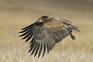 White-tailed Eagle (Haliaeetus albicilla) juvenile flying, Mecklenburg-Vorpommern, Germany - Ralf Kistowski/ BIA
