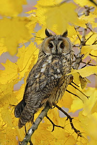 Long-eared Owl (Asio otus), North Rhine-Westphalia, Germany - Ralf Kistowski/ BIA