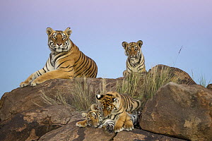 Tiger (Panthera tigris) female with cubs, native to Asia - Marion Vollborn/ BIA