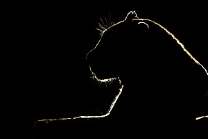 Leopard (Panthera pardus) at night, Sabi Sands Game Reserve, South Africa - Marion Vollborn/ BIA