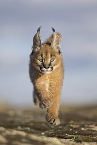 Caracal (Caracal caracal) cub running, native to Africa and Asia - Marion Vollborn/ BIA