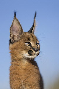 Caracal (Caracal caracal) cub, native to Africa and Asia - Marion Vollborn/ BIA