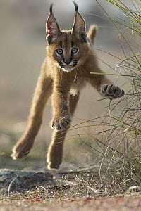 Caracal (Caracal caracal) cub jumping, native to Africa and Asia - Marion Vollborn/ BIA