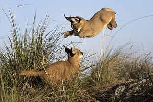 Caracal (Caracal caracal) cubs playing, native to Africa and Asia - Marion Vollborn/ BIA