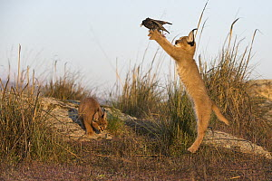 Caracal (Caracal caracal) cubs catching a Common Starling (Sturnus vulgaris), native to Africa and Asia - Marion Vollborn/ BIA