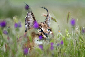 Caracal (Caracal caracal) cub in flowering meadow, native to Africa and Asia - Marion Vollborn/ BIA