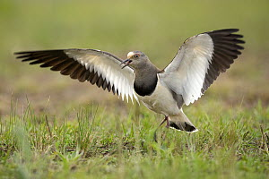 Black-winged Lapwing (Vanellus melanopterus) calling during defensive display, KwaZulu-Natal, South Africa  -  Eric Sohn Joo Tan/ BIA