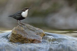 White-throated Dipper (Cinclus cinclus), North Rhine-Westphalia, Germany - Ralf Kistowski/ BIA