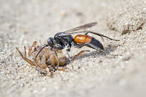 Spider Wasp (Anoplius infuscatus) dragging paralysed spider prey, Saxony-Anhalt, Germany  -  Thomas Hinsche/ BIA