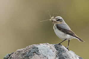 Northern Wheatear (Oenanthe oenanthe) male with insect prey, Sweden - Ralf Kistowski/ BIA