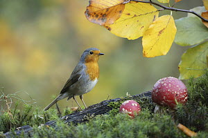 European Robin (Erithacus rubecula), Lower Saxony, Germany  -  Folkert Christoffers/ BIA