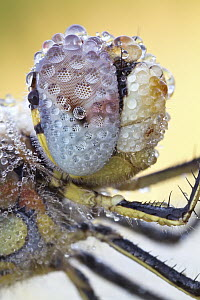 Red-veined Darter (Sympetrum fonscolombii) dragonfly compound eye covered with dew, Hesse, Germany  -  Peter Schwarz/ BIA