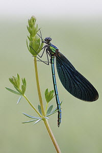 Beautiful Demoiselle (Calopteryx virgo), North Rhine-Westphalia, Germany - Ralf Kistowski/ BIA