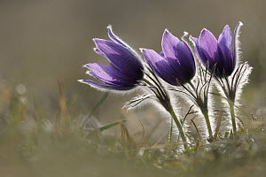 Dane's Blood (Pulsatilla vulgaris) flowering, North Rhine-Westphalia, Germany - Ralf Kistowski/ BIA
