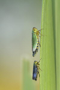Green Leafhopper (Cicadella viridis) male and female, Utrecht, Netherlands  -  Walter Soestbergen/ BIA