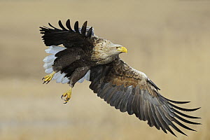 White-tailed Eagle (Haliaeetus albicilla) flying, Mecklenburg-Vorpommern, Germany - Ralf Kistowski/ BIA