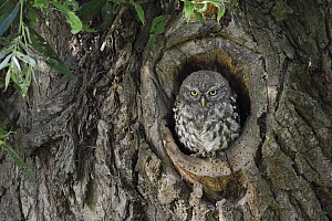 Little Owl (Athene noctua) chick in nest cavity, North Rhine-Westphalia, Germany - Ralf Kistowski/ BIA