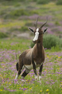 Bontebok (Damaliscus pygargus) male, Western Cape, South Africa  -  Nate Chappell/ BIA
