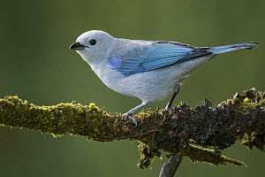 Blue-gray Tanager (Thraupis episcopus), Colombia  -  Glenn Bartley/ BIA