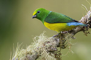 Blue-naped Chlorophonia (Chlorophonia cyanea), Colombia  -  Glenn Bartley/ BIA
