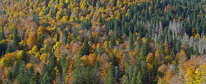 Mixed conifer and deciduous forest in fall, Austria - Hans Glader/ BIA