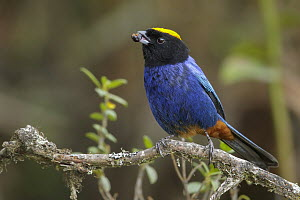 Golden-crowned Tanager (Iridosornis rufivertex), Colombia  -  Glenn Bartley/ BIA