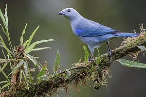 Blue-gray Tanager (Thraupis episcopus), Costa Rica  -  Glenn Bartley/ BIA