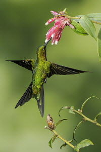 Golden-breasted Puffleg (Eriocnemis mosquera) feeding on flower nectar, Colombia - Glenn Bartley/ BIA