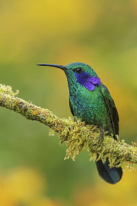 Green Violet-ear (Colibri thalassinus) hummingbird, Colombia  -  Glenn Bartley/ BIA