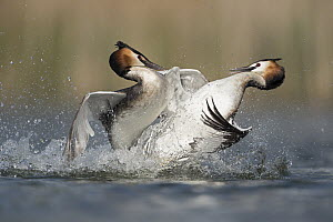 Great Crested Grebe (Podiceps cristatus) pair fighting over territory, North Rhine-Westphalia, Germany - Ralf Kistowski/ BIA
