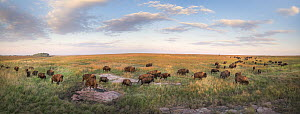 American Bison (Bison bison) herd on prairie with quartz, Blue Mounds State Park, Minnesota - Jim Brandenburg