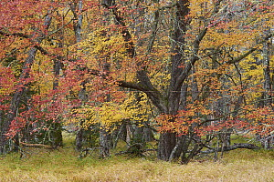 Maple (Acer sp) trees in autumn, Mersey River, Kejimkujik National Park, Canada - Scott Leslie