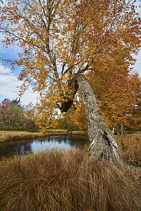 Maple (Acer sp) tree along river in autumn, Mersey River, Kejimkujik National Park, Canada - Scott Leslie
