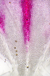 Storksbill (Erodium x variabile) chromoplasts on petal, magnified 100x  -  Albert Lleal