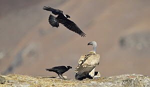 Cape Vulture (Gyps coprotheres) mobbed by White-necked Ravens (Corvus albicollis), Giant's Castle National Park, KwaZulu-Natal, South Africa  -  Winfried Wisniewski