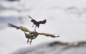 Cape Vulture (Gyps coprotheres) mobbed by White-necked Raven (Corvus albicollis), Giant's Castle National Park, KwaZulu-Natal, South Africa  -  Winfried Wisniewski
