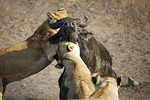 African Lion (Panthera leo) females hunting Cape Buffalo (Syncerus caffer), Kruger National Park, South Africa, sequence 15 of 17  -  Richard Du Toit