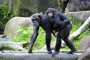 Chimpanzee (Pan troglodytes) mother carrying young, Singapore Zoo, Singapore - Juergen & Christine Sohns