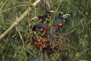 Pale-mandibled Aracari (Pteroglossus erythropygius) group feeding on fruit, Choco Rainforest, Ecuador  -  Murray Cooper