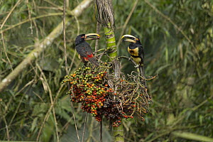 Pale-mandibled Aracari (Pteroglossus erythropygius) pair feeding on fruit, Choco Rainforest, Ecuador  -  Murray Cooper