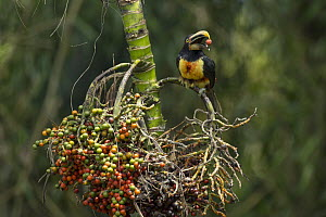 Pale-mandibled Aracari (Pteroglossus erythropygius) feeding on fruit, Choco Rainforest, Ecuador  -  Murray Cooper