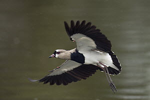 Southern Lapwing (Vanellus chilensis) flying, Ecuador  -  Murray Cooper
