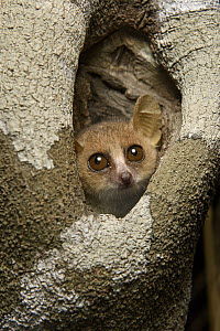 Gray Mouse Lemur (Microcebus murinus) in tree hole, Kirindy Forest, Morondava, Madagascar  -  Chien Lee